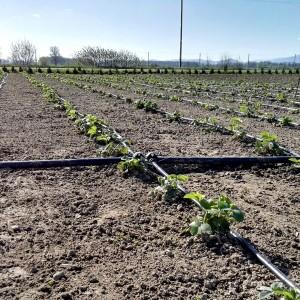 linia krolująca plantacje truskawek green bud